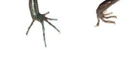 Blue tail skink lizard claw Royalty Free Stock Photo