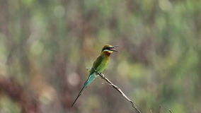 Blue Tailed Bee Eater 02 stock video