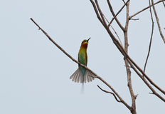 Blue-tailed bee-eater Royalty Free Stock Images