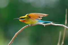 Blue-Tailed Bee Eater Royalty Free Stock Photo