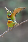 Blue-Tailed Bee Eater Royalty Free Stock Images