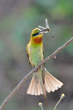 Blue-Tailed Bee Eater Royalty Free Stock Image