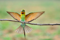 Free Blue Tailed Bee Eater Royalty Free Stock Photography - 24814497