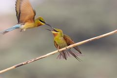 Aggressive bird fight. Blue tailed bee eater Aggressive fight stock image