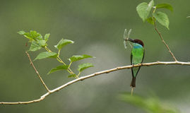 Blue Tailed Bee Eater Stock Photos