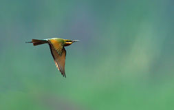 Blue tailed bee eater Stock Images