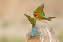 Blue tailed bee eater Stock Photography