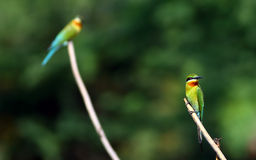 Blue tailed bee eater Royalty Free Stock Photos