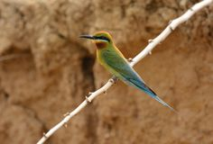 Blue tailed bee eater Royalty Free Stock Image