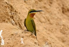 Blue tailed bee eater Royalty Free Stock Images