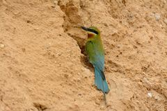 Blue tailed bee eater Royalty Free Stock Photo