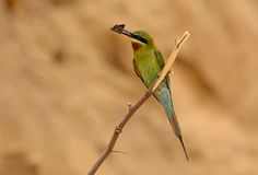 Blue tailed bee eater Royalty Free Stock Photography