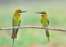 Blue tailed Bee eater bird Royalty Free Stock Photo