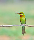 Blue tailed Bee eater bird Stock Image