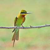 Blue Tailed Bee Eater bird Stock Photos