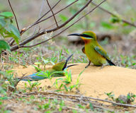 Blue-tailed bee-eater Stock Photos
