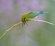 Blue-tailed bee-eater Stock Image