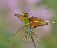 Blue-tailed bee-eater Royalty Free Stock Photography