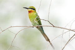 Blue tailed bee eater on a branch Royalty Free Stock Photography