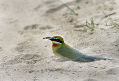 Blue tailed bee eater with catch Stock Photo