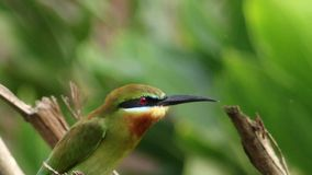 Blue Tailed Bee Eater Close Up stock footage