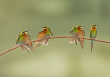 Blue Tailed Bee Eater family. Stock Image