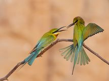 Blue tailed bee eater. Fighting Royalty Free Stock Photography