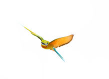 Blue-tailed Bee-eater in flight isolated on white background Royalty Free Stock Photo