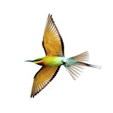 Blue-tailed Bee-eater in flight isolated on white background Stock Photography