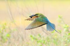 Blue-tailed Bee-eater flying stock photos