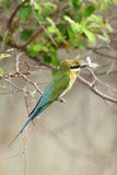 Blue tailed bee eater in Jhirna Forest Royalty Free Stock Photos