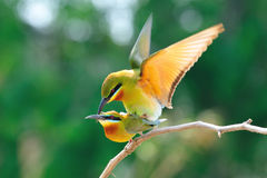 Blue-Tailed Bee Eater Mating Royalty Free Stock Images