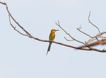 Blue-tailed bee-eater (Merops philippinus ) bird catch on the tree Royalty Free Stock Image