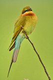 Blue-tailed Bee-eater. Royalty Free Stock Images
