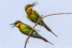 Blue-tailed bee-eater, merops philippinus. Shoot from bangban ayuthaya thailand stock images