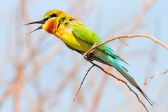 Blue-tailed bee-eater, merops philippinus. Shoot from bangban ayuthaya thailand stock photography