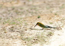 Blue tailed bee eater near a burrow in Jhirna Forest Royalty Free Stock Photo