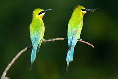 Blue-tailed bee-eater pair Royalty Free Stock Image