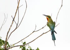 Blue tailed bee eater perched on a branch Stock Photos