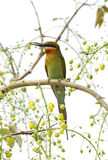 Blue tailed bee eater perched on a tree with a bee Stock Photography