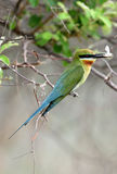 Blue tailed bee eater perched on a tree in Jhirna forest Royalty Free Stock Photography
