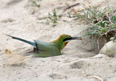 Blue tailed bee eater with a prey Stock Photo