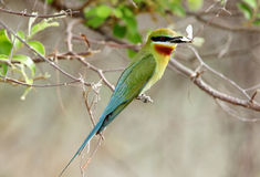 Blue tailed bee eater with prey Stock Images