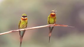 Blue Tailed Bee Eater stock video
