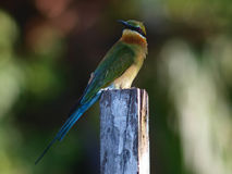 Blue-tailed Bee-eater. Scientific name: Merops philippinus royalty free stock photo
