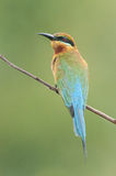Blue-tailed Bee-eater. Taken from Lorong Halus Wetland of Singapore Royalty Free Stock Photos