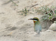 Blue tailed bee eater taking prey for baby Stock Image