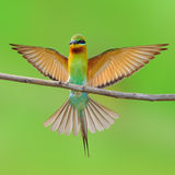 Blue tailed bee-eaters bird Stock Images