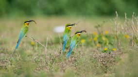Blue Tailed Bee Eaters Carrying Food For Their Chicks Stock Photos