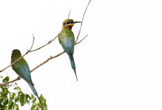 Blue tailed bee eaters sitting on a branch Stock Photography